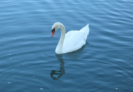 Swan in the Canal in Newport Shores