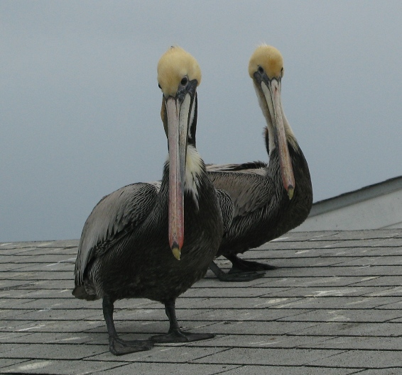 pelicans on the NB Pier
