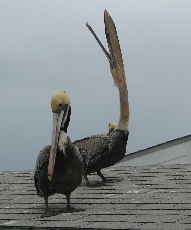 pelicans stretch