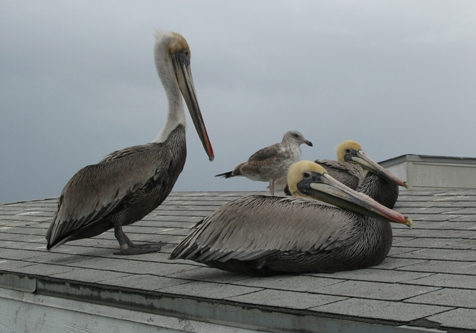 pelicans taking a rest