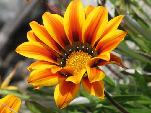 trabuco flowers