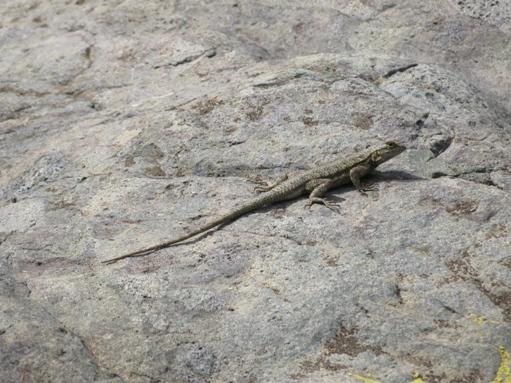 trabuco canyon - lizard