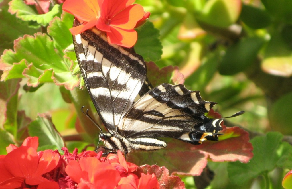 trabuco canyon - butterfly