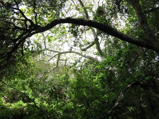 Trabuco Trees