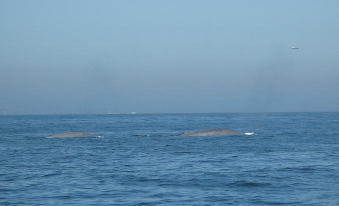 Avalon in Catalina - whales