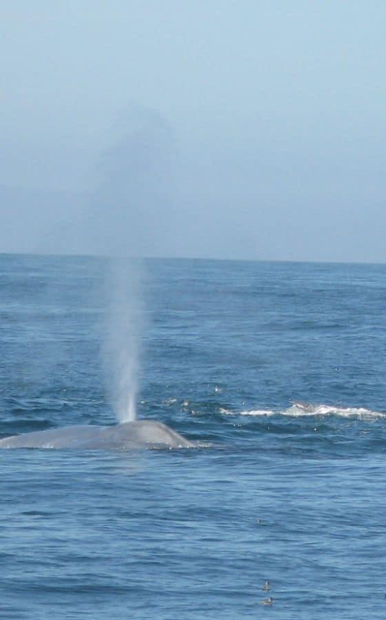 California Grey Whale