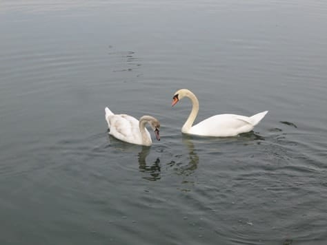 swans in newport shores in newport beach