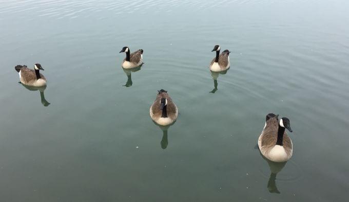 Newport shores geese