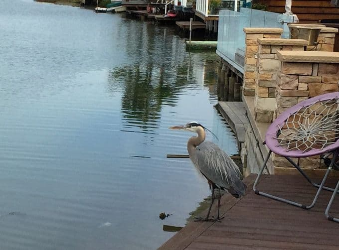Newport Shores heron