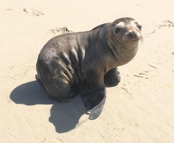 Sea Lion Pup in Huntington Beach